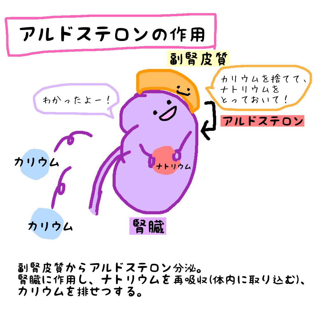 アルドステロン 作用 腎臓
