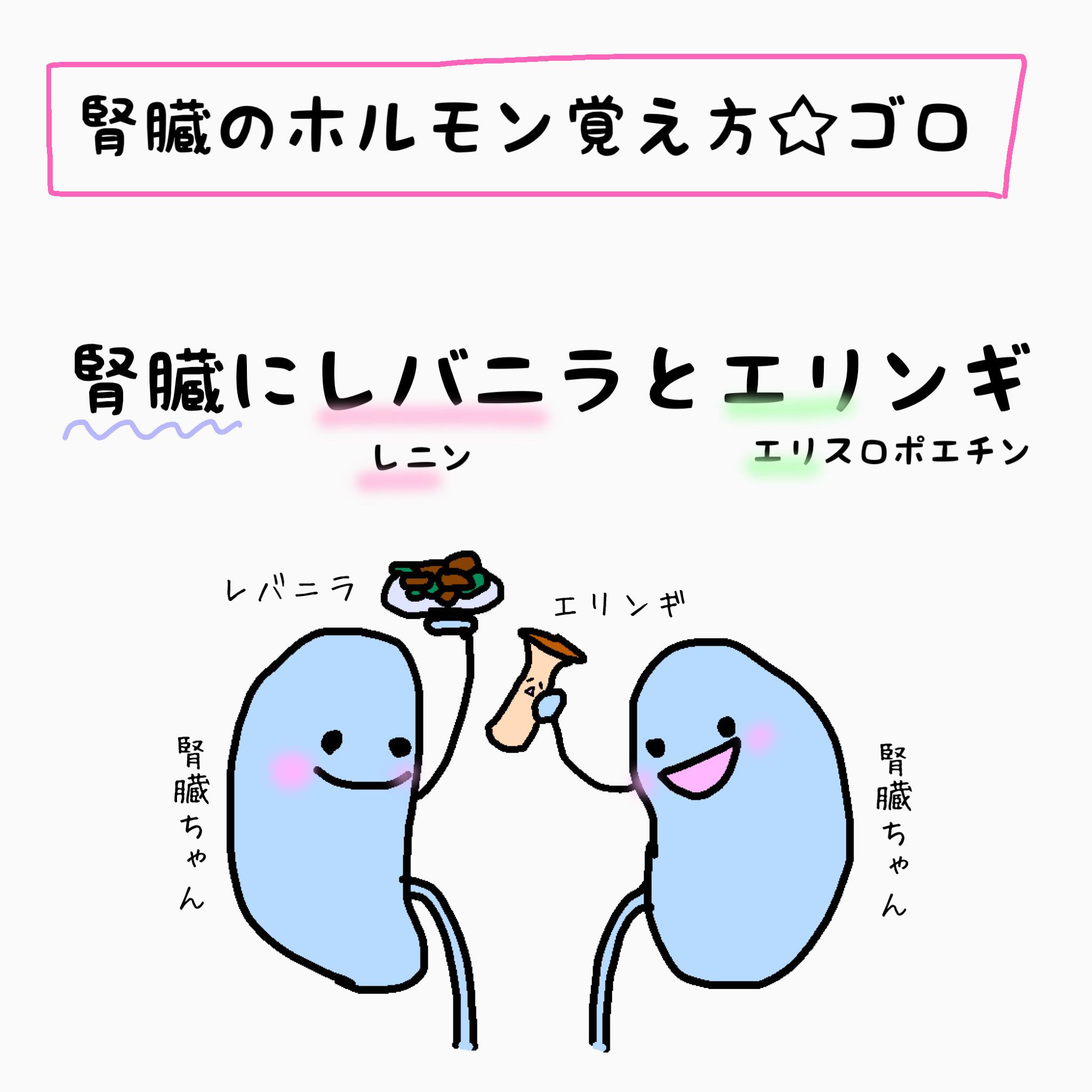 腎臓 ホルモン 覚え方 ゴロ合わせ